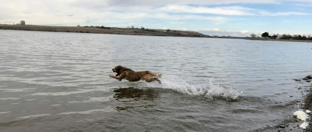 Pinyon going for his bumper at Scooteney Reservoir